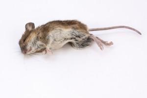 Hoe moet ik muizen bestrijden?